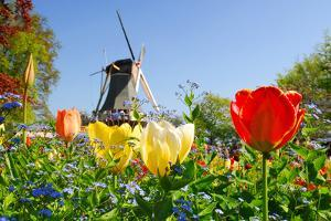 Dutch Windmill and Colorful Tulips and Forget-Me-Not Flowers in Famous Spring Garden 'Keukenhof', H by dzain
