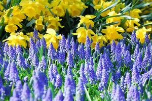 Yellow Daffodils and Blue Grape Hyacinths in Spring Garden 'Keukenhof', Holland by dzain