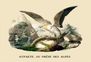 Gypaete, Ou Phene des Alpes by E.f. Noel