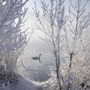 Winter Swan by E.M. van Nuil