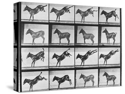 """Album sur la décomposition du mouvement : """"Animal locomotion"""", 1872/85.:  Ruade de l'âne"""