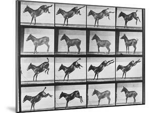 """Album sur la décomposition du mouvement : """"Animal locomotion"""", 1872/85.:  Ruade de l'âne by Eadweard Muybridge"""