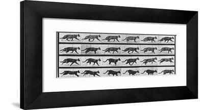 Album sur la décomposition du mouvement: Animal Locomotion: chat