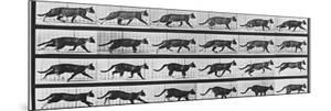 Album sur la décomposition du mouvement: Animal Locomotion: chat by Eadweard Muybridge