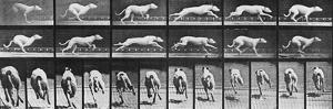 Album sur la décomposition du mouvement, Animal Locomotion: chien by Eadweard Muybridge