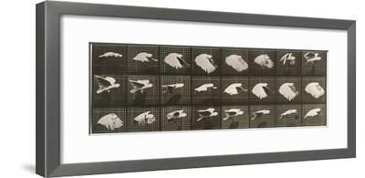 """Album sur la décomposition du mouvement : """"Animal locomotion"""". Le Perroquet volant"""