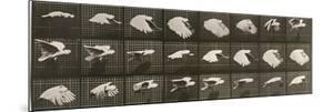 """Album sur la décomposition du mouvement : """"Animal locomotion"""". Le Perroquet volant by Eadweard Muybridge"""