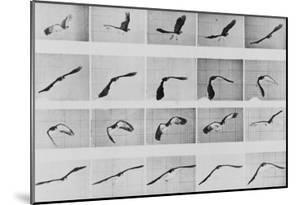 Album sur la décomposition du mouvement: Animal Locomotion: :perroquet volant by Eadweard Muybridge