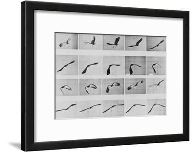 Album sur la décomposition du mouvement: Animal Locomotion: :perroquet volant