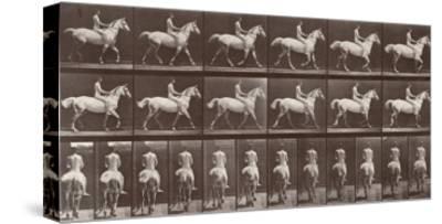 """Album sur la décompostion du mouvement : """"Animal locomotion  :Saut d'obstacle, cheval blanc"""