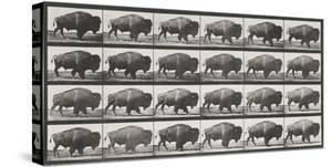 Buffalo Walking by Eadweard Muybridge