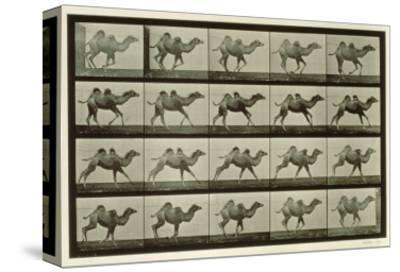 Camel, Plate from 'Animal Locomotion', 1887