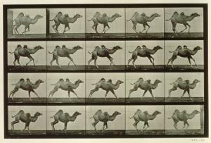 Camel, Plate from 'Animal Locomotion', 1887 by Eadweard Muybridge