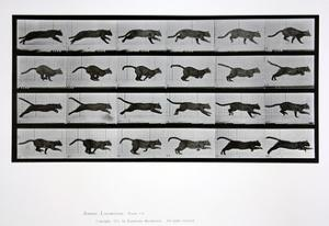 Cat Running, Plate 720 from 'Animal Locomotion', 1887 by Eadweard Muybridge