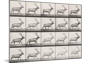 Elk Trotting by Eadweard Muybridge