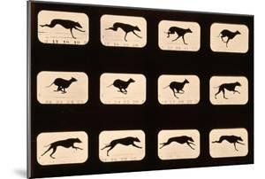 Greyhound, Running 'Animal Locomotion' Series, C.1881 by Eadweard Muybridge