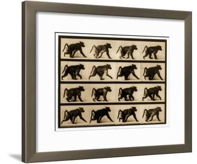 Image Sequence of a Baboon Running, 'Animal Locomotion' Series, C.1887