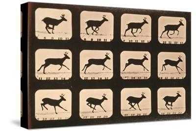 Image Sequence of a Deer Running, 'Animal Locomotion' Series, C.1881