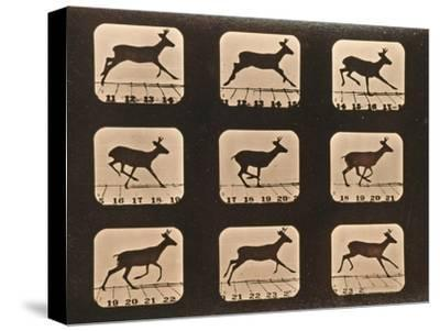 Image Sequence of a Running Deer, 'Animal Locomotion' Series, C.1881