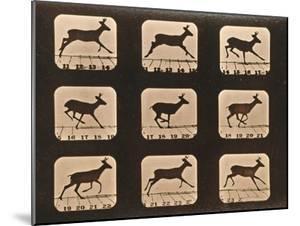Image Sequence of a Running Deer, 'Animal Locomotion' Series, C.1881 by Eadweard Muybridge