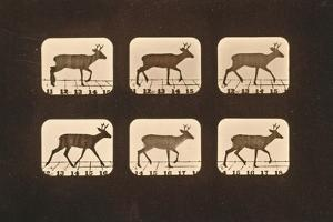 Image Sequence of a Trotting Deer, 'Animal Locomotion' Series, C.1881 by Eadweard Muybridge