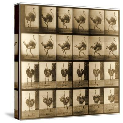Image Sequence of an Ostrich Running, 'Animal Locomotion' Series, C.1887