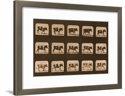 Image Sequence of an Ox Running, 'Animal Locomotion' Series, C.1881