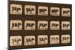 Image Sequence of an Ox Running, 'Animal Locomotion' Series, C.1881 by Eadweard Muybridge