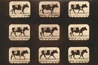 Image Sequence of an Ox Trotting, 'Animal Locomotion' Series, C.1881