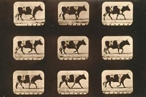 Image Sequence of an Ox Trotting, 'Animal Locomotion' Series, C.1881 by Eadweard Muybridge
