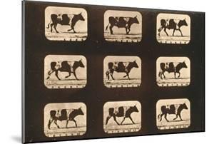 Image Sequence of an Ox Trotting, 'Animal Locomotion' Series, C.1881 by Eadweard Muybridge