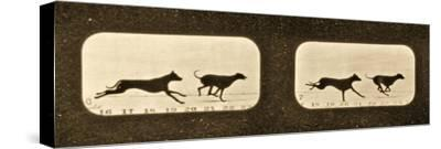 Image Sequence of Running Greyhounds, 'Animal Locomotion' Series, C.1881