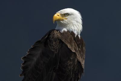 Eagle Ahead-Staffan Widstrand-Giclee Print