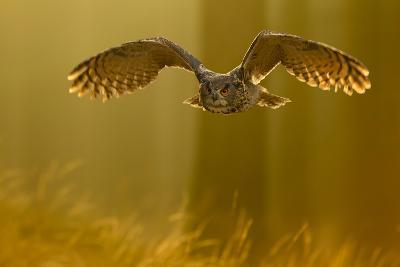 Eagle Owl (Bubo Bubo) in Flight Through Forest, Backlit at Dawn, Czech Republic, November. Captive-Ben Hall-Photographic Print