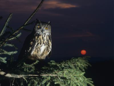 Eagle Owl Perching on Tree Branch--Photo