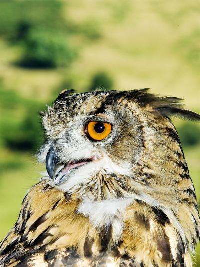 Eagle Owl, Portrait of Captive Adult, UK-Mike Powles-Photographic Print