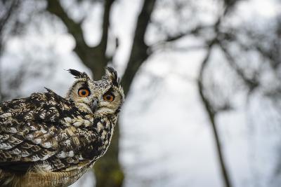 Eagle Owl, Raptor, Bird of Prey, Rhayader, Mid Wales, United Kingdom, Europe-Janette Hill-Photographic Print