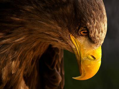 Eagle Pursues Prey-Adriana K.H.-Photographic Print
