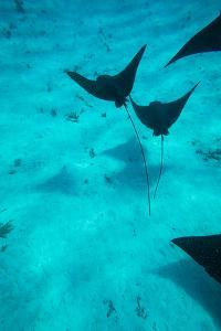 Eagle Rays Swimming in the Pacific Ocean, Tahiti, French Polynesia
