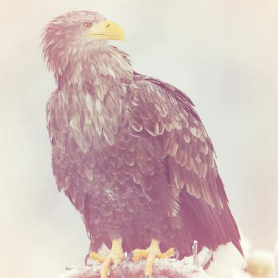 https://imgc.artprintimages.com/img/print/eagle-soft_u-l-f90dbt0.jpg?p=0