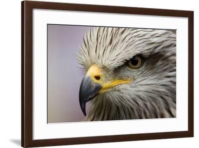 Eagle-javier balseiro-Framed Photographic Print