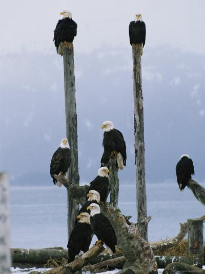 Eagles Perch on Wooden Posts-Klaus Nigge-Photographic Print