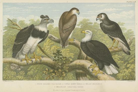Eagles--Giclee Print
