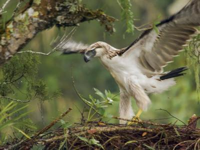 Eaglet Exercises its Wings in Preparation for a First Flight-Klaus Nigge-Photographic Print