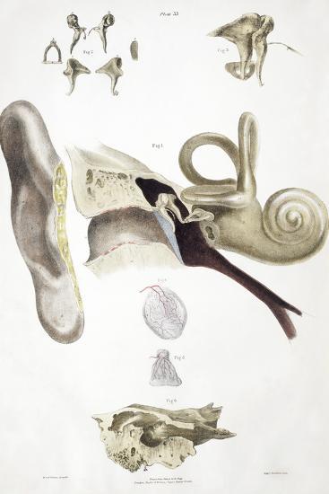 Ear Anatomy-Sheila Terry-Photographic Print