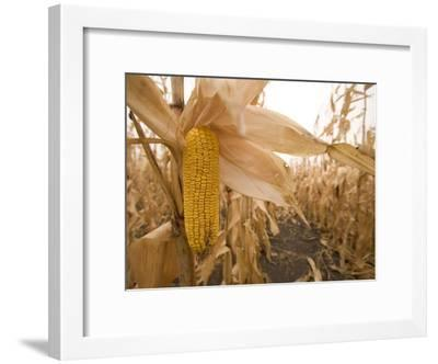 Ear of Corn Ready for Harvest in a Corn Field-Phil Schermeister-Framed Photographic Print