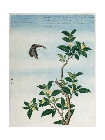 Early 19th-Century Chinese Watercolor of a Cinnamon Plant--Giclee Print