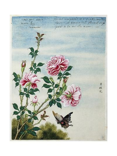 Early 19th-Century Chinese Watercolor of Pink Roses--Giclee Print