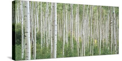 Early Autumn Aspens-Dennis Frates-Stretched Canvas Print