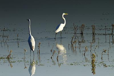 Early Morning Egrets 1-Alan Hausenflock-Photographic Print